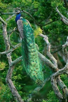 Indian Peacock male in tree, Pavo cristatus, Bandipur National Park, Western Ghats, India ~ Frans Lanting Peacock And Peahen, Male Peacock, Peacock Bird, Indian Peacock, Indian Blue, Most Beautiful Birds, Pretty Birds, Exotic Birds, Colorful Birds