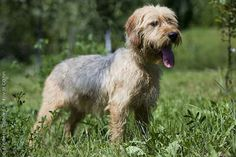 Linkapedia Dogs Discover more about Bosnian Coarse-haired Hound