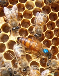 A very large and productive Russian/Italian hybrid queen bee, Apis mellifera, about 8 weeks old, bred at the Roseville apiary...    flickr photo by steveburt1947 https://flickr.com/photos/steveburt1947/4911405452 shared under a Creative Commons (BY-NC-ND) license