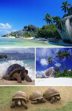 Aldabra Island is home to one of the world's largest populations of Giant Tortoises – around 150,000 Aldabra Giant Tortoises (Dipsochelys dussumieri) roam the atoll, free from human predation. Such was not always the case: 19th century whalers, sealers and long-distance ship voyagers often captured tortoises for food and by 1900 they were nearly extinct. Aldabra is also home to the world's largest land crab, the Coconut Crab (Birgus latro).