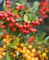 What is Sea Buckthorn Berry Oil? #Organic #Beauty http://www.organicspamagazine.com/2011/09/what-is-buckthorn-berry-oil/#