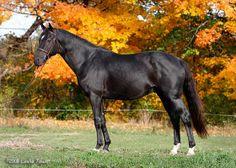 canadian horse | black Canadian Sport Horse stallion