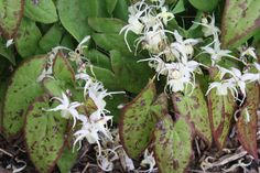 Fairy Flower for sale buy Epimedium 'Picture Frame'