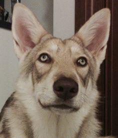 Finite Incantatem di Fossombrone - 7 mesi - proprietà: Luigi Maspero   #Saarloos #Puppies #Fossombrone
