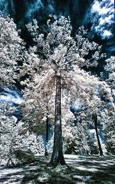 ✯ Stately Tree