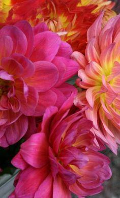 Flowers, always stunning dahlia.