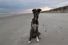 Stanley my Silken Windhound on Oak Island, NC.