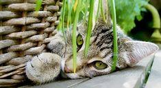 Wie wäre es mit einem Katzengarten? Wir haben 13 essbare Pflanzen für Katzen im Haustier Notfallkarte Haustier Blog!