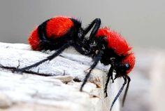 Red Velvet Cake Beetles