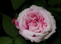 Marchesa Boccella    Damask Perpetual, French, 1840 in Pamela Temple's garden.