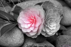 Kirsten Sneath - Camellias