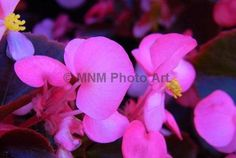Pink Begonia Flowers Photograph Art