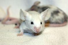 Gorgeous white mouse