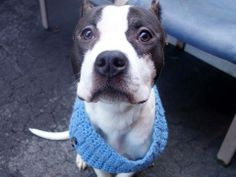 URGENT - Manhattan Center    MONTY - A0995264   *** SAFER: AVERAGE HOME ***   MALE, WHITE / BLACK, PIT BULL MIX, 2 yrs, 1 mo  OWNER SUR - AVAILABLE, NO HOLD  Reason NO TIME   Intake condition NONE Intake Date 03/30/2014, From NY 10035, DueOut Date 04/02/2014  https://www.facebook.com/photo.php?fbid=781095945236620&set=a.617938651552351.1073741868.152876678058553&type=3&permPage=1 ++++++VERY THIN+++++