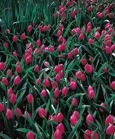 Tulipa humilis violacea - Species - Tulips - Flower Bulbs Index