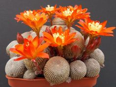 Flower Garden Rebutia heliosa is a small, slow growing cactus, with heads densely covered in brown areoles. Cactus Planta, Cactus Y Suculentas, Succulent Seeds, Planting Succulents, Indoor Succulents, Succulent Terrarium, Succulents Diy, Unique Plants, Cool Plants