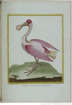 Histoire naturelle des oiseaux. [Par Buffon, Guéneau de Montbeillard et l'abbé Bexon.] | Gallica