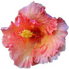 Cuban Music Atlanta Latin Jazz Band. Ritmo Atlanta Latin Jazz Band image of Cuban flower from Wedding Music page.