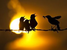 Silhouette (von baby birds with beaks open waiting for mom to feed them a bug, early sunrise Pretty Birds, Love Birds, Beautiful Birds, Silhouettes, Cool Photos, Beautiful Pictures, Shadow Silhouette, Bird Silhouette, Sunset Silhouette
