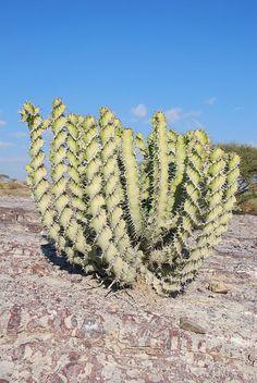 Socotra (Yemen) Euphorbia Cactus Spiral
