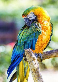 Resultado de imagem para blue and gold macaw and scarlet macaw