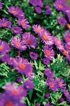 7 of 10  A Photo Gallery PLANT PALETTE Aster novae-angliae 'Violetta' A New…