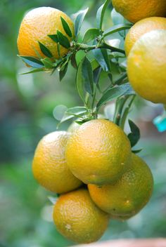 Citrus x sinensis, jeruk manis; 4 classes: common oranges, blood or pigmented oranges, navel oranges, and acidless oranges Fruit Plants, Fruit Garden, Fruit Trees, Fresh Fruits And Vegetables, Fruit And Veg, Fruit Bearing Trees, Orange Plant, Fruits Photos, Fruit Photography