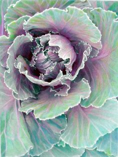 photo art . ornamental cabbage  great pastel art project !