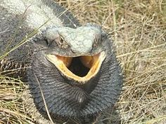 Want To Know About Eastern Bearded Dragons, Find Out Here - Exotic Bearded Dragons Eastern Bearded Dragon, Bearded Dragon Diet, Live Animals, Wildlife Nature, Reptiles And Amphibians, Pet Home, Bald Eagle, Habitats, Creatures
