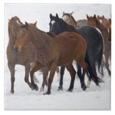 Herd of American Quarter Horses in Winter Tile