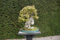 Bonsai at RHS Wisley | Flickr: Intercambio de fotos