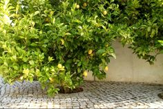 Lemon trees in Algarve, Portugal