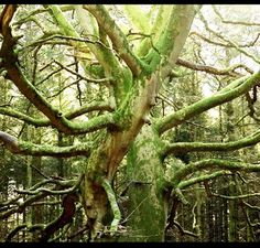 Magnificent old tree in the Forest of Deer, Aberdeen,Scotland. Photo by R. Shane Davis.