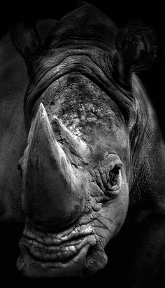 beautiful endangered rhino