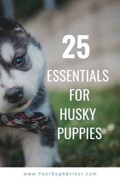 If you are one of the lucky pet parents who has just introduced an adorable, fluffy, crazy cute Husky puppy into your life, then we think congratulations a 25 Essentials. Mini Siberian Husky, Siberian Husky Facts, Siberian Huskies, Siberian Husky Training, Cute Husky Puppies, Husky Puppy, Lab Puppies, Big Fluffy Dogs, Puppy Shampoo