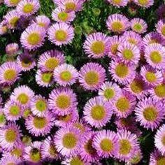 Pink Aster Flower Seeds/Alpinus/Perennial 40+