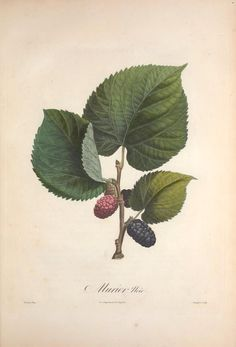 heaveninawildflower: Morus nigra (Black Mulberry). Illustration from 'Pomologie Francais' by A. Poiteau. Illustrations by P. J. F. Turpin, Firmin Bocourt. Published 1846 by Langlois et Leclercq. Smithsonian Libraries. Biodiversity Heritage Library. archive.org scientificillustration.tumblr.com/