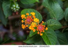 Lantana or Wild sage or Cloth of gold or Lantana camara flower
