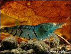 """Blue Tiger Shrimp  Caridina cantonensis sp """"blue""""     Overview  The Blue Tiger…"""
