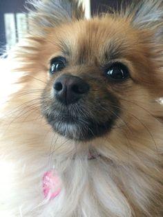 Pretty Pomeranian #milamae