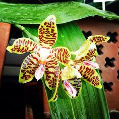 Phalaenopsis David Ai