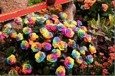 Mystic Rainbow Flower - Rosa Seeds Rose - 10 Seeds - Qualityseeds4less Exclusive
