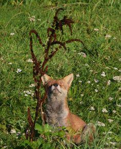 fox, vulpesvulpes, redfox, wildlife