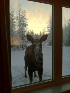 It looks warm in there; can I come in? Moose Musings