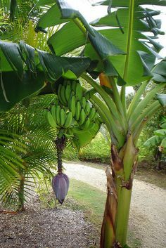 A banana tree takes about 9 months to grow up and produce a branch of bananas. Then the mother plant dies. But around the base of it are many suckers, little baby plants. Exotic Fruit, Tropical Fruits, Tropical Plants, Fruit Garden, Edible Garden, Tropical Garden, Fruit Bearing Trees, Fruit Trees, Fruit Plants