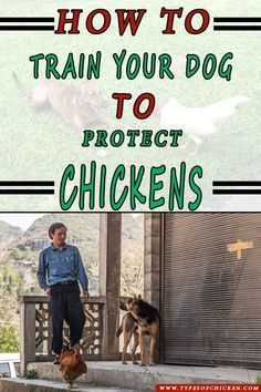 Want To Keep Both A Dog And Chickens? Here are 3 Tips and Tricks on How To Train Your Dog To Protect Your Chickens. Types Of Chickens, Keeping Chickens, Raising Chickens, Raising Ducks, How To Keep Chickens, Pet Chickens, Chicken Breeds, Chicken Coops, Chicken Feeders