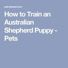 How to Train an Australian Shepherd Puppy - Pets