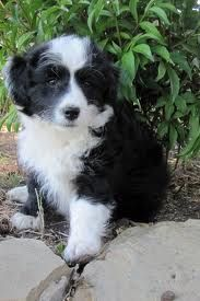 Border collie poodle mix full grown
