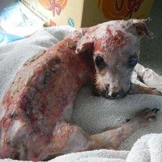 El perro quemado con agua hirviendo por morder un celular