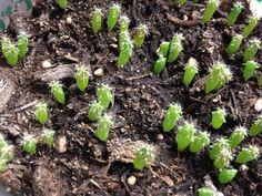 Trichocereus huancoensis seeds for sale